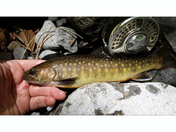 八ケ岳山麓 大門川の綺麗な岩魚