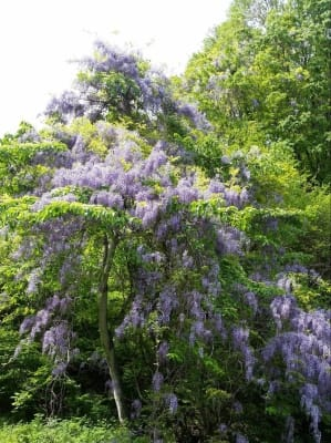 天然の藤が満開の花
